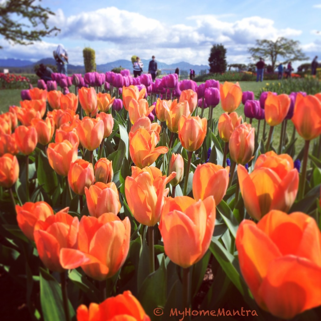 Tulips festival in Seattle